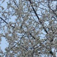 первое цветущее дерево :: Дарья Неживая