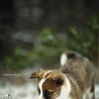 Собака :: Сергей Селевич