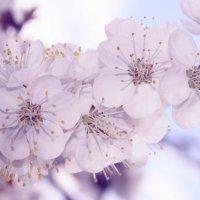 Цветение абрикосы) :: Илона Гончарова