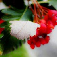 ягоды осени :: NATOCHKA MIRONOVA