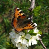 Бабочка :: Екатерина Павлова