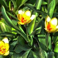 Тюльпаны :: Света Насонова