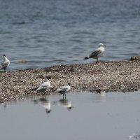 Чайки :: Александр Колот