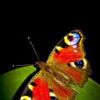 бабочки :: Павел
