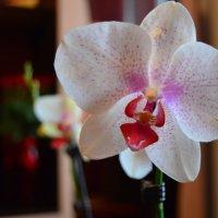 Орхидея :: Аня Анечка