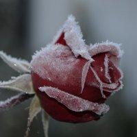 Роза после мороза :: Татьяна -