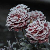 Роза после мороза 2 :: Татьяна -
