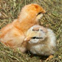 Цыплята. :: Mariya Trofimova