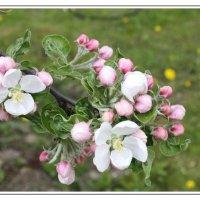 Весеннее цветение... :: Nonna