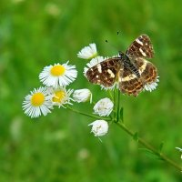 Бабочка на белых цветах :: Александр Бурилов