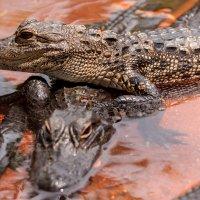 Из жизни крокодилов :: Ростислав Бычков