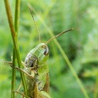 В траве сидел кузнечик :: Регина Богомолова