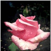 Роза :: Евгений Кочуров