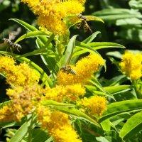 Медовый запах лета :: Виктория Булат