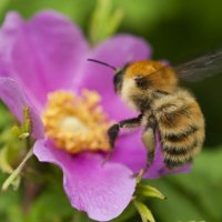 Полёт пчелы над цветком шиповника за секунду до пробуждения. :: Евгений Тайдаков