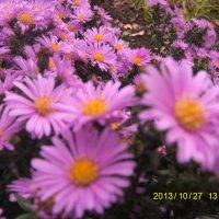 осенние цветы :: Ирина Красникова-Дашкова