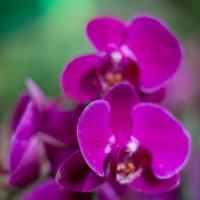 орхидеи :: Валерий Цингауз