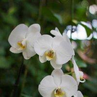 белая орхидея (утёнок) :: Валерий Цингауз