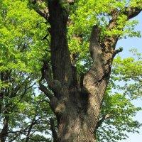 Дерево :: Елена Безнасюк