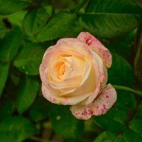 роза :: pangrador(юрий) щукин