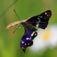Неизвестная бабочка. :: Victor Klyuchev