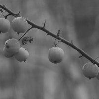 ч/б яблоки :: евгений Смоленцев