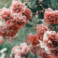 розы :: Алёна Дягелева