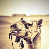 Позитивный верблюд) :: P. Blum