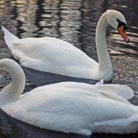 Swan`s pair :: Roman Ilnytskyi