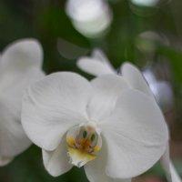 орхидея (скрудж) :: Валерий Цингауз
