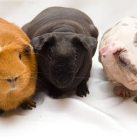 Три свинюшки :: Сергей Францев