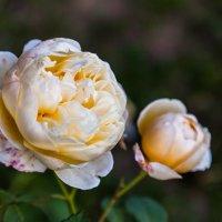 Вечерние розы :: Константин Фролов