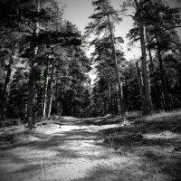 сосновый лес :: alecs tyalin