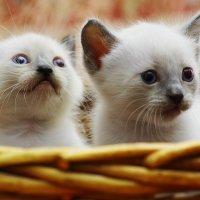 Лёва и сестра-из серии Кошки очарование мое! :: Shmual Hava Retro