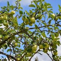 Яблоки в нашем саду :: Константин Жирнов