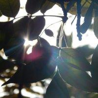 Солнце сквозь листья :: Калгиза Осмонова