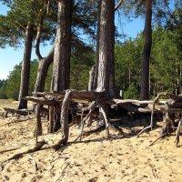 Шагающие деревья :: Александр Рязанцев