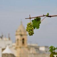 Виноград. :: N S