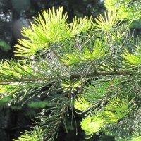 Иголки от елки :: Елена Безнасюк