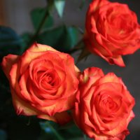 розы :: Анна Уварова