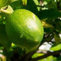 Лимоны еще не поспели :: Дмитрий Волошко