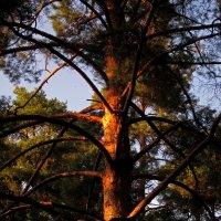 Вечерний лес... :: Павел Зюзин