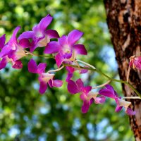 тайская орхидея :: Denis Mishin