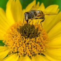 Пчелка :: Павел Живага