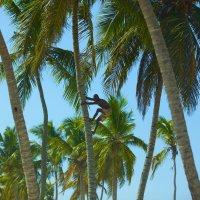 Вот так у нас в отеле добываю кокосы на завтрак :: Ярослав Загляднов
