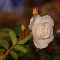 Прощальная роза :: Вальтер Дюк