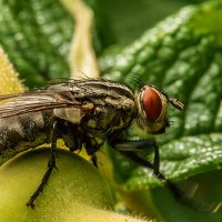 Просто муха :: Владимир Самсонов