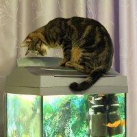 Классика: кошка и аквариум - 2 :: Владимир Мишин
