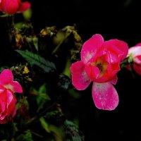 Розы :: Viacheslav Birukov