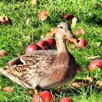 Утка с яблоками :: Андрей Григорьев